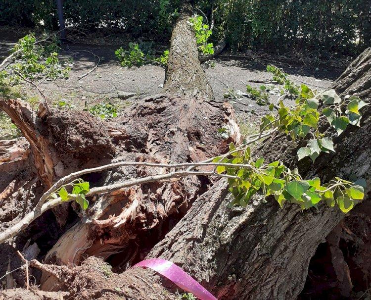 Brescia, tronchi a terra