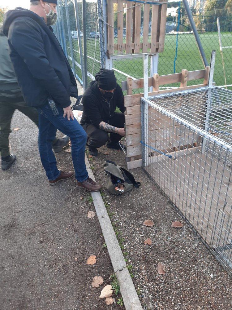 Roma, animalisti, mobilitazione per salvare un cinghiale