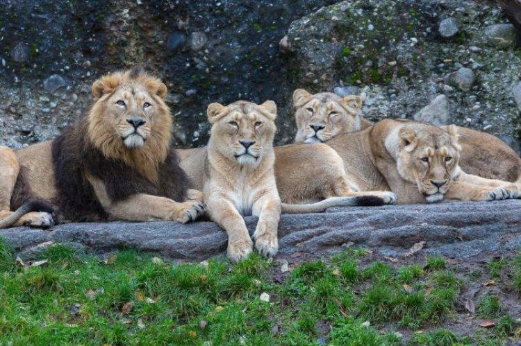 COVID-19: quattro leoni positivi allo zoo di Barcellona in Spagna