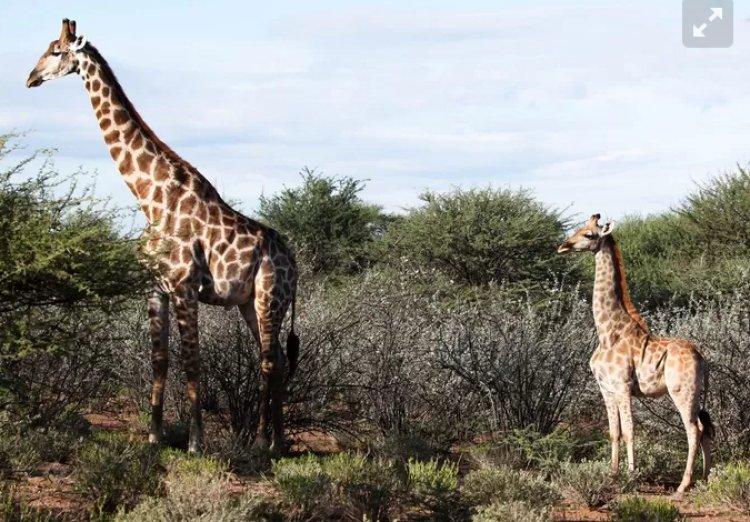 Scoperta la giraffa nana in Uganda