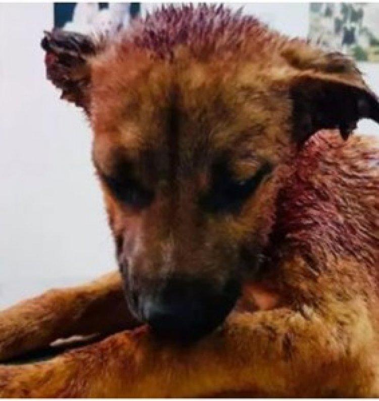 Ragusa, tagliano le orecchie a un cane per gioco