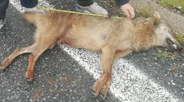 Lupo trovato morto sul ciglio della strada a Lecce