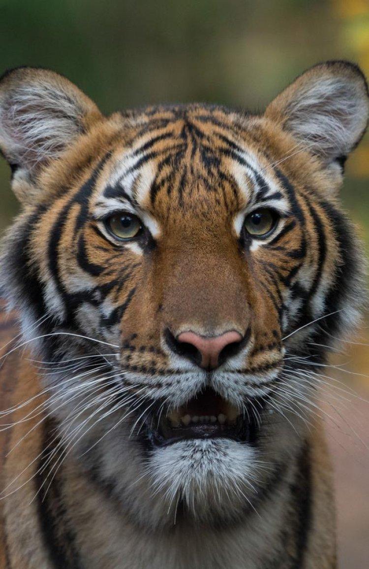 Minaccia Covid per gli animali. L'India chiude temporaneamente ai turisti le riserve di tigri.