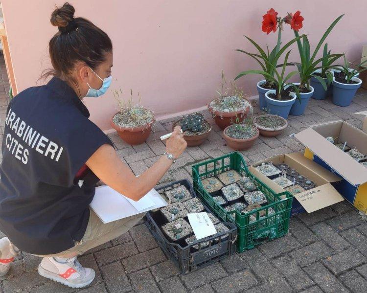 San Benedetto del Tronto, sequestrate 253 piante psicotrope e cactus